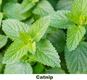 insect repelling plants catnip