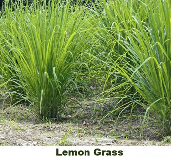 lemon grass repels insects