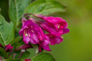 weigela heat tolerant shrub